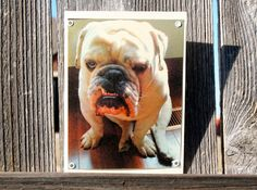 Grumpy Bulldog Blank Note Card Animal Photography by HBBeanstalk, $3.00