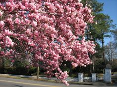 I want tulip trees
