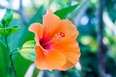 There are two types of hibiscus (Hibiscus spp.), namely the tropical hibiscus and the hardy hibiscus, both of which produce similar, showy flowers. Tropical hibiscus grow in U. Hibiscus Bush, Growing Hibiscus, Hibiscus Tree, Hibiscus Flowers, Cactus Flower, Exotic Flowers, Beautiful Flowers, Lilies Flowers, Purple Flowers