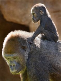 Back lit baby gorilla hitches a ride on mom.