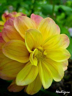 Dahlia in yellow