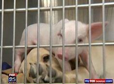 Dog Cares for Injured Piglet