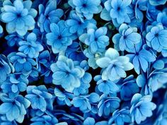 This site presents a complete Flower wallpaper images, presented to you seekers of information about wallpapers and Flower images. Blue Flowers Images, Blue Flower Pictures, Flower Images, Yellow Flowers, Flower Ideas, Pretty Pictures, Most Beautiful Flowers, Pretty Flowers, Beautiful Wall