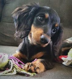 Discover The Inquisitive Dachshund Puppies Size Basset Dachshund, Long Haired Dachshund, Dachshund Love, Daschund, Cute Puppies, Cute Dogs, Clever Dog, Weenie Dogs, Doggies