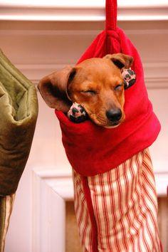 awww, makes me miss my dachshund :) Dachshund Funny, Dachshund Love, Daschund, Dachshund Puppies, Brown Dachshund, Christmas Animals, Christmas Dog, Christmas Dachshund, Christmas Stockings