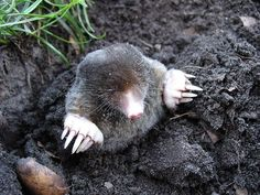 A step-by-step guide from top pest control expert on How to Trap a Mole in the Yard. The most effective and easiest way to trap garden moles. Mole Repellent, Taupe, Earthworms, Homestead Survival, Nature Animals, Wild Animals, Forest Animals, Animals Of The World, Mole