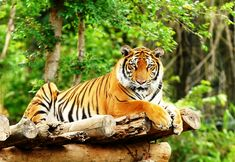Bengal Tiger Laying Down - India