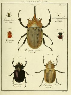 Scarab beetles. De l'Imprimerie de Baudoin,1789-1808. shabby chic vintage decor lake house cabin bungalow decor