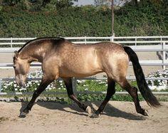 Sooty Buckskin- bay based plus one dilute gene. No dorsal stripe, leg or shoulder barrings.