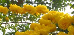 Yellow# roses#