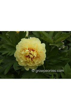 Garden Treasure Peony — Countryside Gardens, Inc. Yellow Peonies, Buy Peonies, Gold Medal Winners, Peony, Countryside, Bloom, Gardens, Plants, Outdoor Gardens