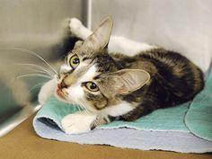 LYNDEN – A1079534 | NYC AC&C Urgent Cats