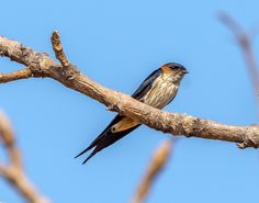 siddharthx posted a photo:  The red-rumped swallow (Cecropis daurica) is a small passerine bird in the swallow family. It breeds in open hilly country of temperate southern Europe and Asia from Portugal and Spain to Japan, India, Sri Lanka and tropical Africa. The Indian and African birds are resident, but European and other Asian birds are migratory. They winter in Africa or India and are vagrants to Christmas Island and northern Australia.  Red-rumped swallows are somewhat similar in…