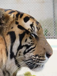 Photo Post: Tiger Close-up Close Up, Posts, Blog, Ideas, Messages, Blogging, Thoughts