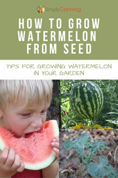 Learn how to grow watermelon from seed in your own garden, including tips for soil, seed starting, disease control, and using what you grow! Growing Watermelon From Seed, Types Of Watermelon, Watermelon Plant, How To Grow Watermelon, Fruit Garden, Garden Plants, Veggie Gardens, Garden Beds, Organic Gardening