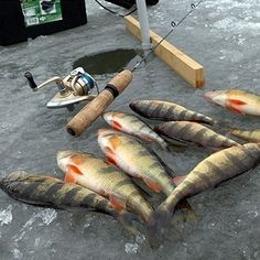 Perch Fishing Tips More