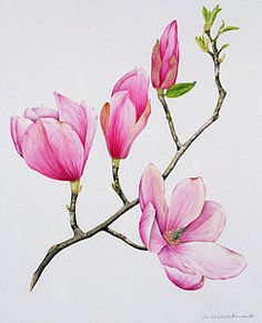 Magnolia Art Print by Sally Crosthwaite