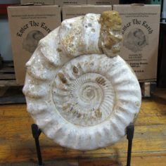 AMAZING XL White Ammonite - Tulear, Madagascar - EAMM418