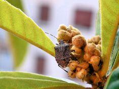 marvanypoloska csapdazasa 04 Oregon, Plant