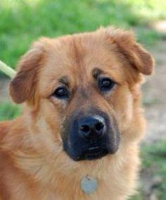 APOLLO is an adoptable Chow Chow Dog in San Antonio, TX