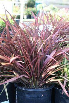 Phormium tenax pink stripe container plants pinterest pink phormium maori maiden altavistaventures Images
