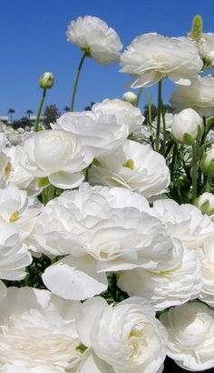 If you are thinking of rose gardening don't let this rumor stop you. While rose gardening can prove to be challenging, once you get the hang of it, it really isn't that bad. Amazing Flowers, Beautiful Roses, Beautiful Gardens, Beautiful Flowers, White Ranunculus, White Roses, White Flowers, Moon Garden, Garden Bed