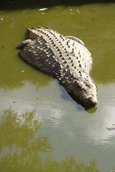 "Were those ""rocks"" in the river bed really the missing crocodile population? Crocodile Rock, Saltwater Crocodile, Baby Alligator, Reptiles And Amphibians, Madagascar, Predator, World War Ii, Baby Animals, Wildlife"