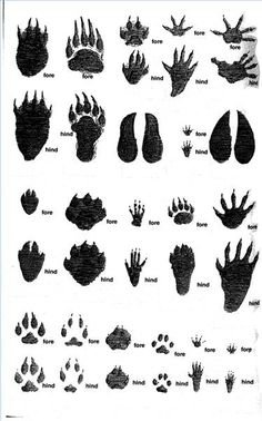 florida animal tracks identification google search teaching ideas pinterest track signs. Black Bedroom Furniture Sets. Home Design Ideas