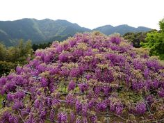 Circular wisteria trellis in Kawachi, Kitakyushu, Japan
