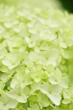 Soft Green Wall Paper Wall Colors Most Popular Ideas Hortensia Hydrangea, Green Hydrangea, Green Flowers, Love Flowers, Flowers Nature, Green Colors, Beautiful Flowers, Hydrangeas, Annabelle Hydrangea