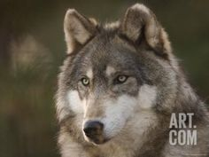 Gray Wolf at the Rolling Hills Wildlife Adventure Photographic Print by Joel Sartore at Art.com