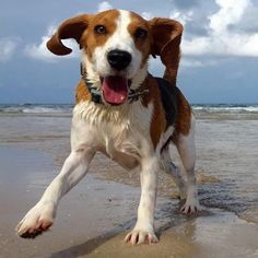 Beagle Freedom Project grad playing on the beach :)