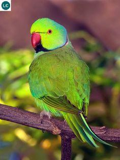 https://www.facebook.com/WonderBirds-171150349611448/ Vẹt vòng cổ hồng; Họ Vẹt nhỏ-Psittaculidae; Châu Á và châu Phi || Rose-ringed parakeet/Ring-necked parakeet (Psittacula krameri); IUCN Red List of Threatened Species 3.1 : Least Concern (LC)(Loài ít quan tâm).
