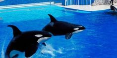 Tell Moscow Sea Park to Stop Torturing Orcas! http://www.thepetitionsite.com/takeaction/210/211/118/ #SeaShepherd #defendconserveprotect