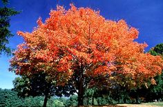 * fast growing, pure sand, shade tolerant, silver maple - Google Search