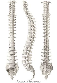 model of human spine. Frontal, side and back view Human Anatomy Drawing, Human Body Anatomy, Brain Anatomy, Anatomy And Physiology, Spine Drawing, Human Spine, Skeleton Model, 3d Printer Designs, Anatomy For Artists