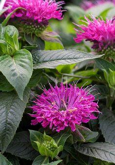Monarda didyma 'Pardon My Purple' also called bee balm...petite perennial -- it grows 10-12 inches tall Full sun