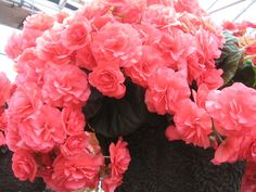 Begonias - Begonia Flowers for Containers and the Garden: Begonia 'Nonstop Rose'