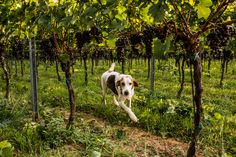 A working dog named Settler on the grounds of a 295-acre vineyard in Madison, Va. #dogsofwsj