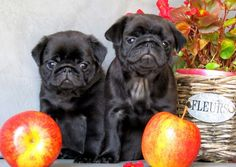 Cute Black Pug Puppies.