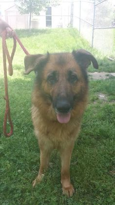 "#Founddog  #Adoptable 6 year old 72 lb #GermanShepherd female UTD on shots Being treated for UTI & ear infection Sweet Best as only dog, no young children ""Anastasia"" ANIMAL WELFARE LEAGUE OF ALEXANDRIA #VA https://graph.facebook.com/VAGSR/photos/a.202719999766942.50082.201039793268296/748576108514659/?type=1"