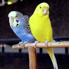 I use to have a blue and yellow budgie...i miss them.
