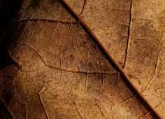 Dry leaf by Lorenzo Cassina