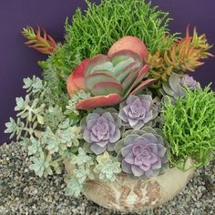 Use Classic Creations™ container of 9 succulents to plant your favorite containers for stunning results with combinations. ~ Florida Friendly Plants
