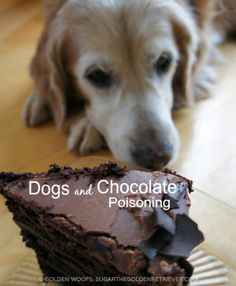 Dogs and Chocolate Poisoning: What You Need To Know