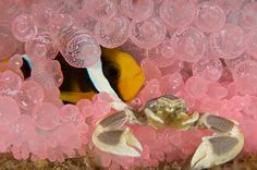 Anemonefish and porcelain crab on pink anemone - Underwater wildlife photograph © Takako Uno