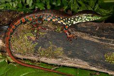 Crocodile Tegu-Crocodilurus amazonicus