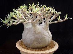 Unusual Plants, Rare Plants, Exotic Plants, Cool Plants, Cacti And Succulents, Planting Succulents, Cactus Plants, Planting Flowers, Rare Flowers