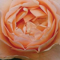 Abbaye de Cluny®™, Delicate, rich, apricot tones with cupped antique-style blooms. A spicy fragrance fills the air around this lovely rose. The blooms are immense in size. A vigorous yet compact plant with deep-green foliage.