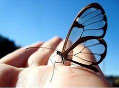 Bastante comum na América Central, especialmente no México e no Panamá, a borboleta transparente tem esse nome devido à falta de coloração em suas asas. Na verdade essa característica da borboleta transparente é um mecanismo de defesa contra predadores.